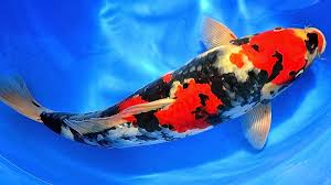 terapi alami melalui ikan hias